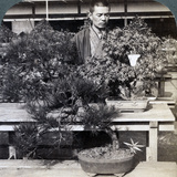 Dwarf Pines and Maples in Count Okuma's Greenhouse, Tokyo, Japan, 1904 Photographic Print by  Underwood & Underwood