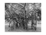 Banyan Tree, Kingston Park, Jamaica, C1905 Giclee Print by Adolphe & Son Duperly