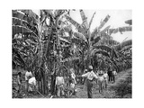 Banana Plantation, Jamaica, C1905 Giclee Print by Adolphe & Son Duperly