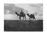 Camels in the Desert Outside Cairo, Egypt, C1920S Giclee Print