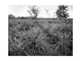 Pineapple Grove, Jamaica, C1905 Giclee Print by Adolphe & Son Duperly