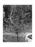 Coffee Tree, Jamaica, C1905 Giclee Print by Adolphe & Son Duperly