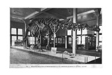 Brontosaurus Skeleton, American Museum of Natural History, New York, USA, Early 20th Century Giclee Print
