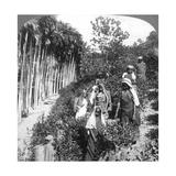 Tamil Women Picking Tea on Sir Thomas Lipton's Estate, Polgahawela, Sri Lanka, 1903 Giclee Print by  Underwood & Underwood