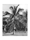 Picking Coconuts, Jamaica, C1905 Giclee Print by Adolphe & Son Duperly