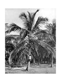 Picking Coconuts, Jamaica, C1905 Giclee Print