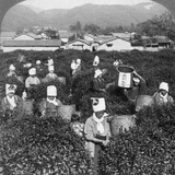 Tea-Picking in Uji, Japan, 1904 Photographic Print by  Underwood & Underwood