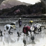 Transplanting Rice in a Paddy Field, Japan, 1904 Photographic Print by  Underwood & Underwood