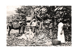 Opening Cocoa Pods, Trinidad, Trinidad and Tobago, C1900s Giclée-tryk af  Strong