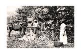 Opening Cocoa Pods, Trinidad, Trinidad and Tobago, C1900s Giclee Print