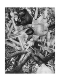 Observation Post in a Tree, Woevre, France, World War I, C1914 Giclee Print