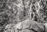 Monkey in the Central Park Zoo in NYC in Black and White Photo
