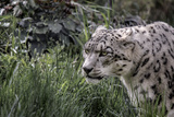 Snow Leopard Staring and Waiting in the Central Park Zoo in NYC Posters