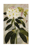 Rhododendron I Prints by John Butler