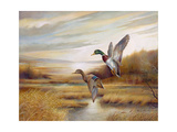 Mallards Giclee Print by Ruane Manning