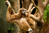 Gibbon in a Tree Photographic Print by  EvanTravels