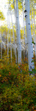 Aspen in the Day II Photographic Print by Kathy Mansfield