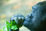 Gorilla Closeup Photographic Print by  EvanTravels