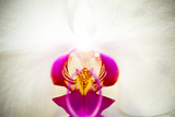 Moon Orchid - Phalaenopsis Amabilis Photographic Print by  EvanTravels