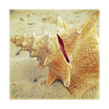 Conch Premium Giclee Print by Lisa Hill Saghini
