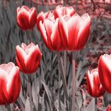 Red Tulips II Fotoprint van Emily Navas