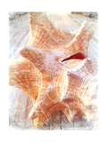 Conch I Premium Giclee Print by Lisa Hill Saghini