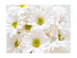 Bunch of White Daisies Premium Giclee Print by Gail Peck