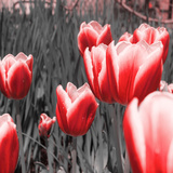 Red Tulips I Photographic Print by Emily Navas