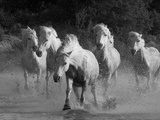 White Running Horses Photographic Print by Carol Walker