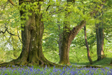 Beech and Oak Trees Above a Carpet of Bluebells in a Woodland, Blackbury Camp, Devon Photographic Print by Adam Burton