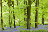 Common Bluebells (Hyacinthoides Non-Scripta) Flowering in a Beech Wood Photographic Print by Adam Burton