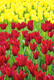 Tulips at KeUKenhof Gardens, Duin- En Bollenstreek, the Netherlands Photographic Print by Nadia Isakova