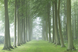 Beech Tree Avenue in Morning Mist, Cotswolds, Gloucestershire, England. Summer Photographic Print by Adam Burton