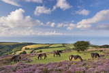 Exmoor Ponies Grazing on Heather Covered Moorland on Porlock Common, Exmoor, Somerset Photographic Print by Adam Burton