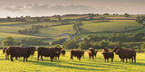 North Devon Red Ruby Cattle Herd Grazing in the Rolling Countryside, Black Dog, Devon Photographic Print by Adam Burton