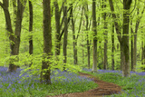 Bluebell Carpet in a Beech Woodland, West Woods, Wiltshire, England. Spring Photographic Print by Adam Burton