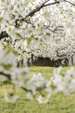 Austria, Burgenlan, Jois, Cherry Trees in Blossom Photographic Print by Karl Thomas