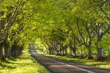 Beech Tree Avenue Early One Spring Morning, Nr Wimborne, Dorset, England. Spring Photographic Print by Adam Burton