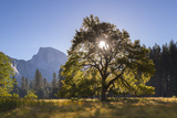 Half Dome and Elm Tree in Cooks Meadow, Yosemite Valley, California, USA. Autumn (October) Photographic Print by Adam Burton