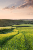 Summer Crops Growing in a Field Near Lanreath, Cornwall, England. Summer Photographic Print by Adam Burton