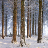 Snow Covered Pine Woodland, Morchard Wood, Morchard Bishop, Devon, England. Winter Photographic Print by Adam Burton