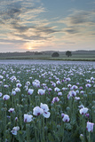 Opium Poppies Flowering in a Dorset Field, Dorset, England. Summer (July) Photographic Print by Adam Burton