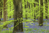 Bluebell Carpet in a Beech Woodland, West Woods, Lockeridge, Wiltshire, England. Spring Photographic Print by Adam Burton