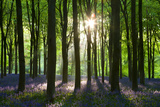 Early Morning Sunlight in West Woods Bluebell Woodland, Lockeridge, Wiltshire, England. Spring Photographic Print by Adam Burton