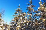 Snow Covered Pine Trees against the Blue Sky Photographic Print by  katvic