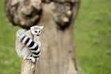 Lemur Sitting on a Log Staring Photographic Print by  stefano pellicciari