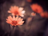Orange Summer Flowers Photographic Print by Alexey Rumyantsev