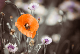Red Garden Poppy Photographic Print by Alexey Rumyantsev