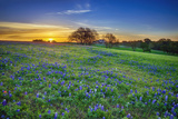 Texas Bluebonnet Field at Sunrise Photographic Print by  leekris