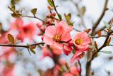 Spring Blossoms Photographic Print by  Aurelio